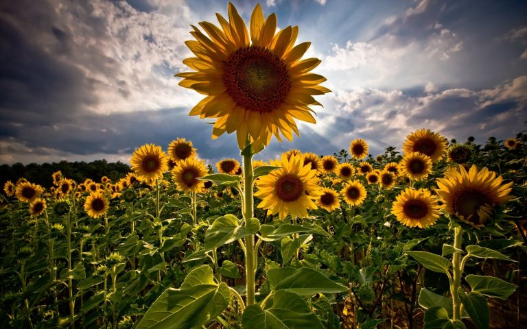 sunflower wallpaper 83