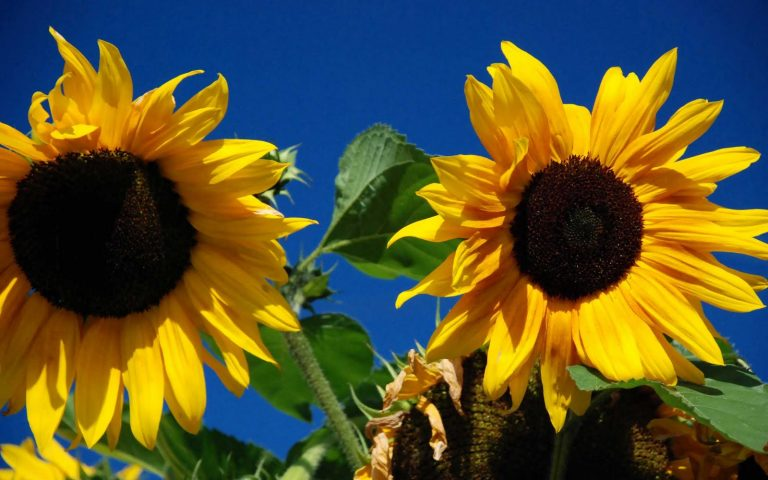 sunflower wallpaper 85
