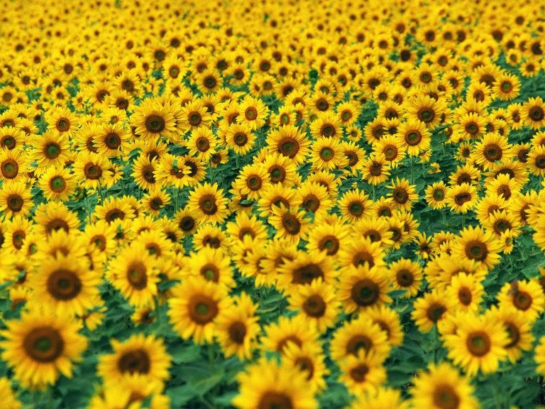 sunflower wallpaper 86