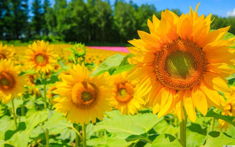 sunflower wallpaper 87