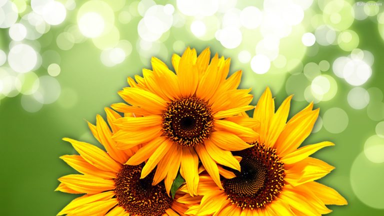 sunflower wallpaper 88
