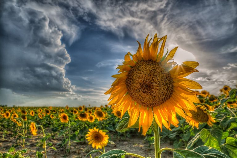 sunflower wallpaper 89