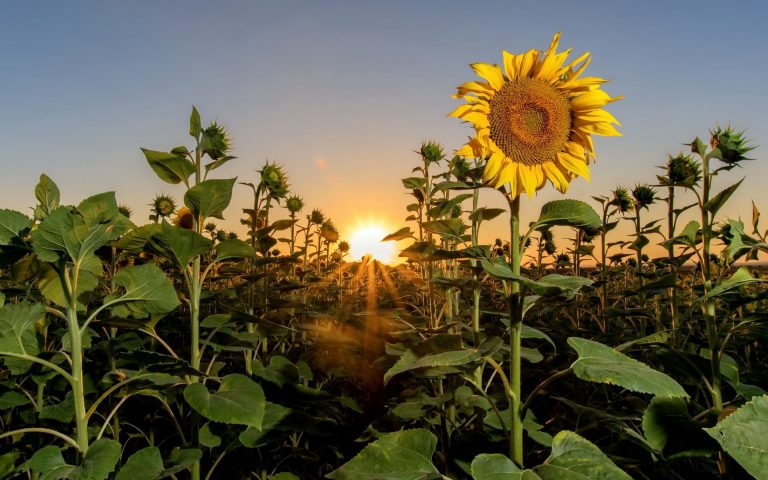 sunflower wallpaper 90