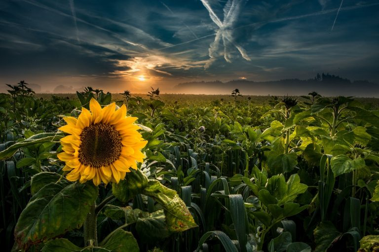 sunflower wallpaper 91