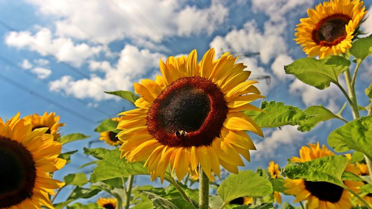 sunflower wallpaper 92
