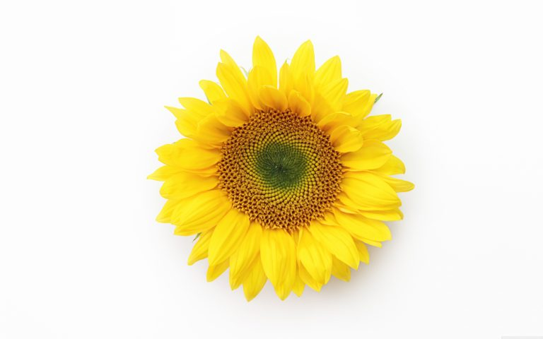 sunflower wallpaper 93