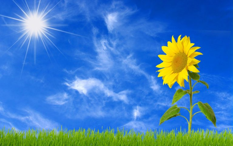 sunflower wallpaper 94