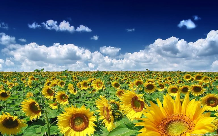 sunflower wallpaper 96