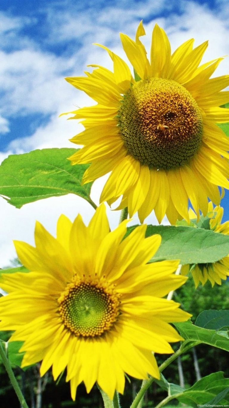 sunflower wallpaper 97