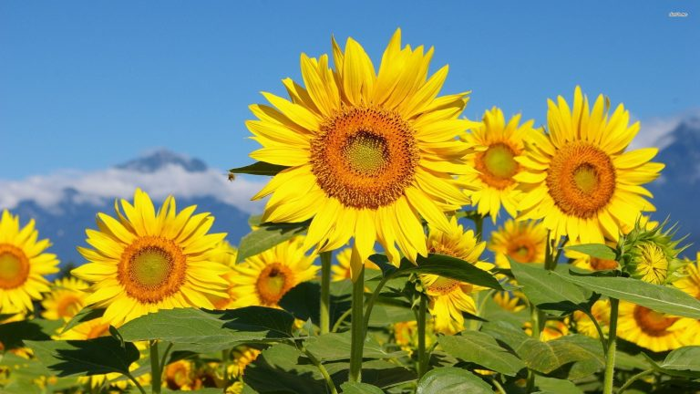 sunflower wallpaper 98
