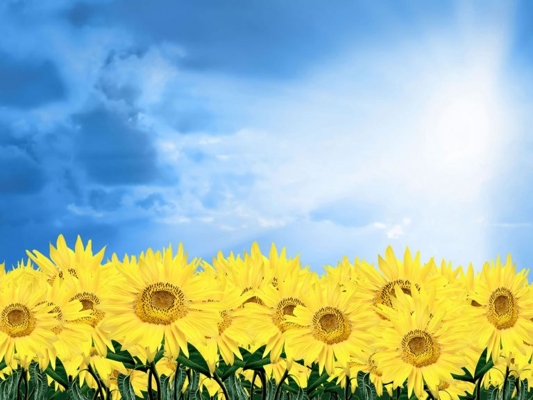 sunflower wallpaper 100