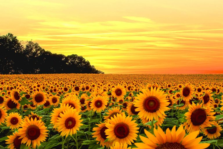 sunflower wallpaper 101