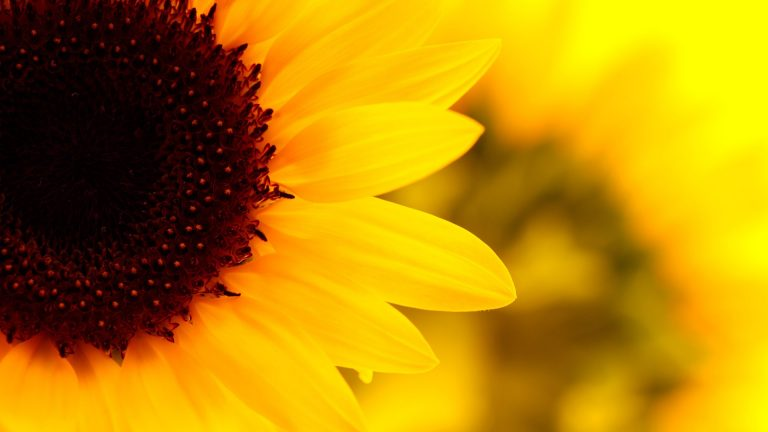 sunflower wallpaper 102