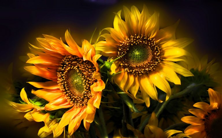 sunflower wallpaper 103