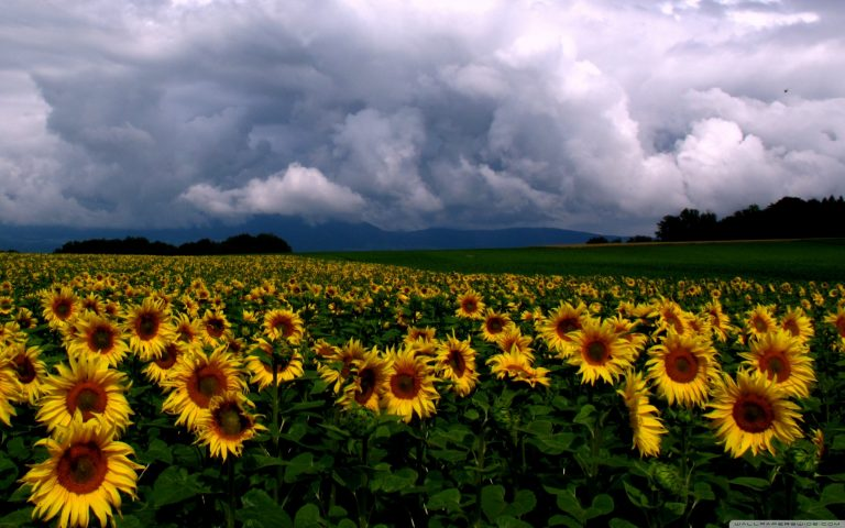 sunflower wallpaper 105