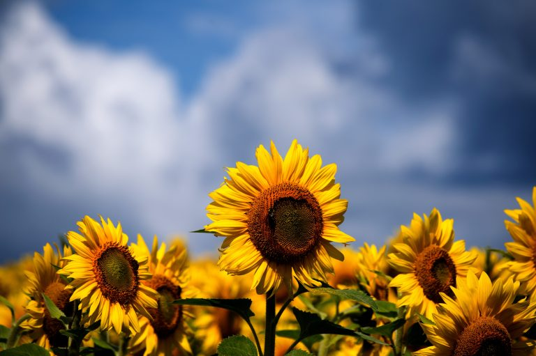 sunflower wallpaper 106