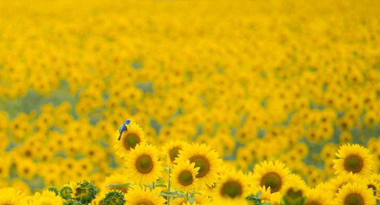 sunflower wallpaper 108