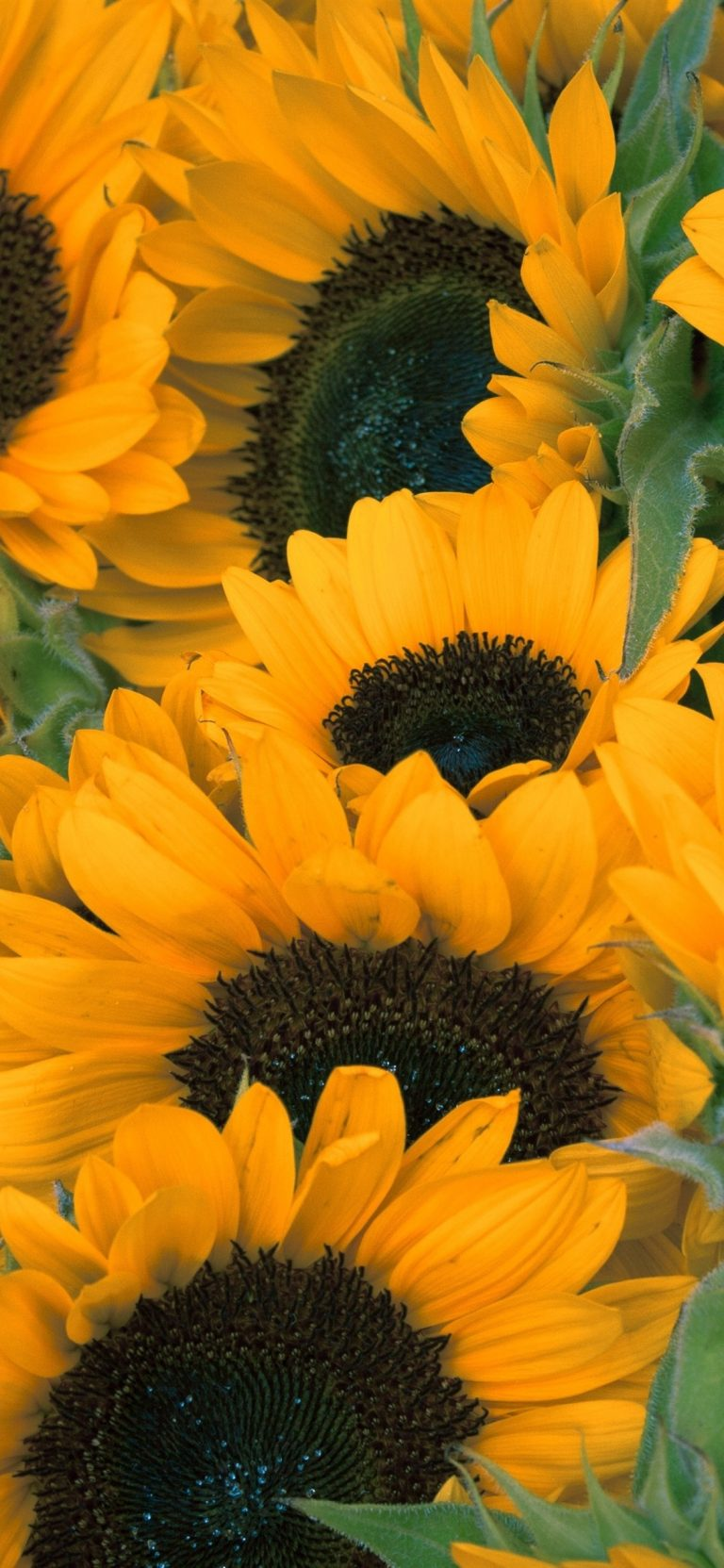 sunflower wallpaper 110