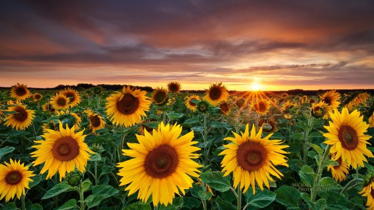 sunflower wallpaper 111