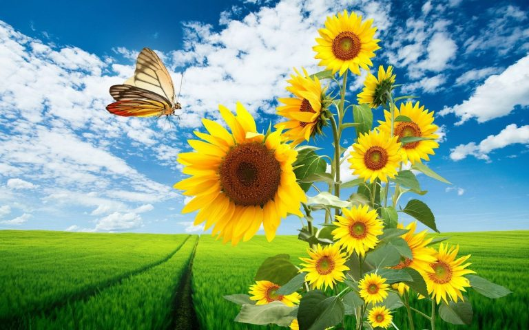 sunflower wallpaper 112