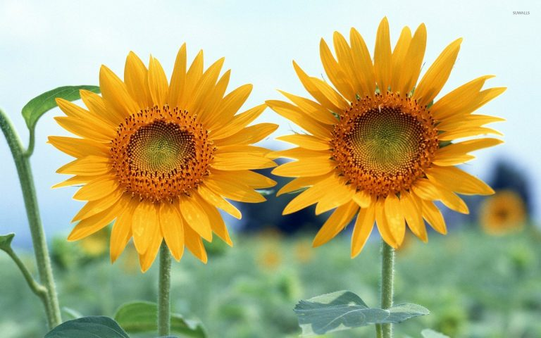 sunflower wallpaper 113