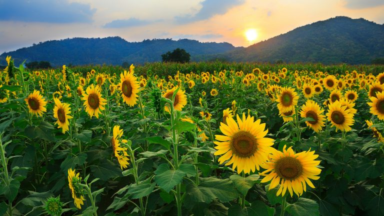 sunflower wallpaper 116