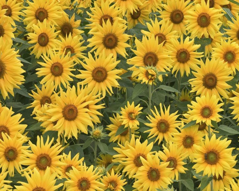 sunflower wallpaper 117