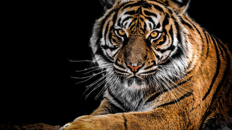 tiger wallpaper 135