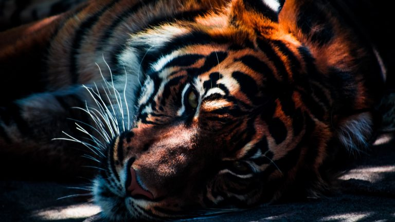 tiger wallpaper 157