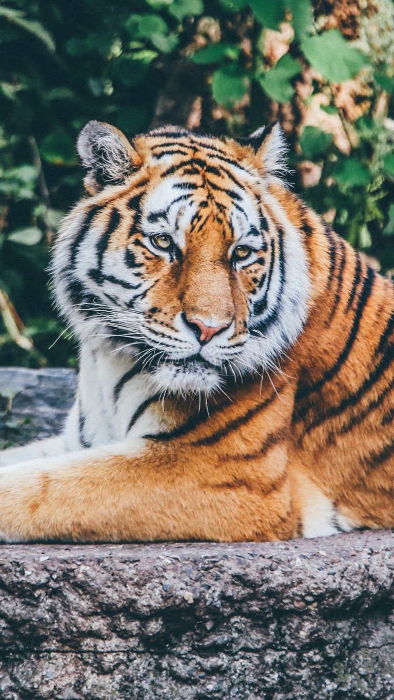tiger wallpaper 159