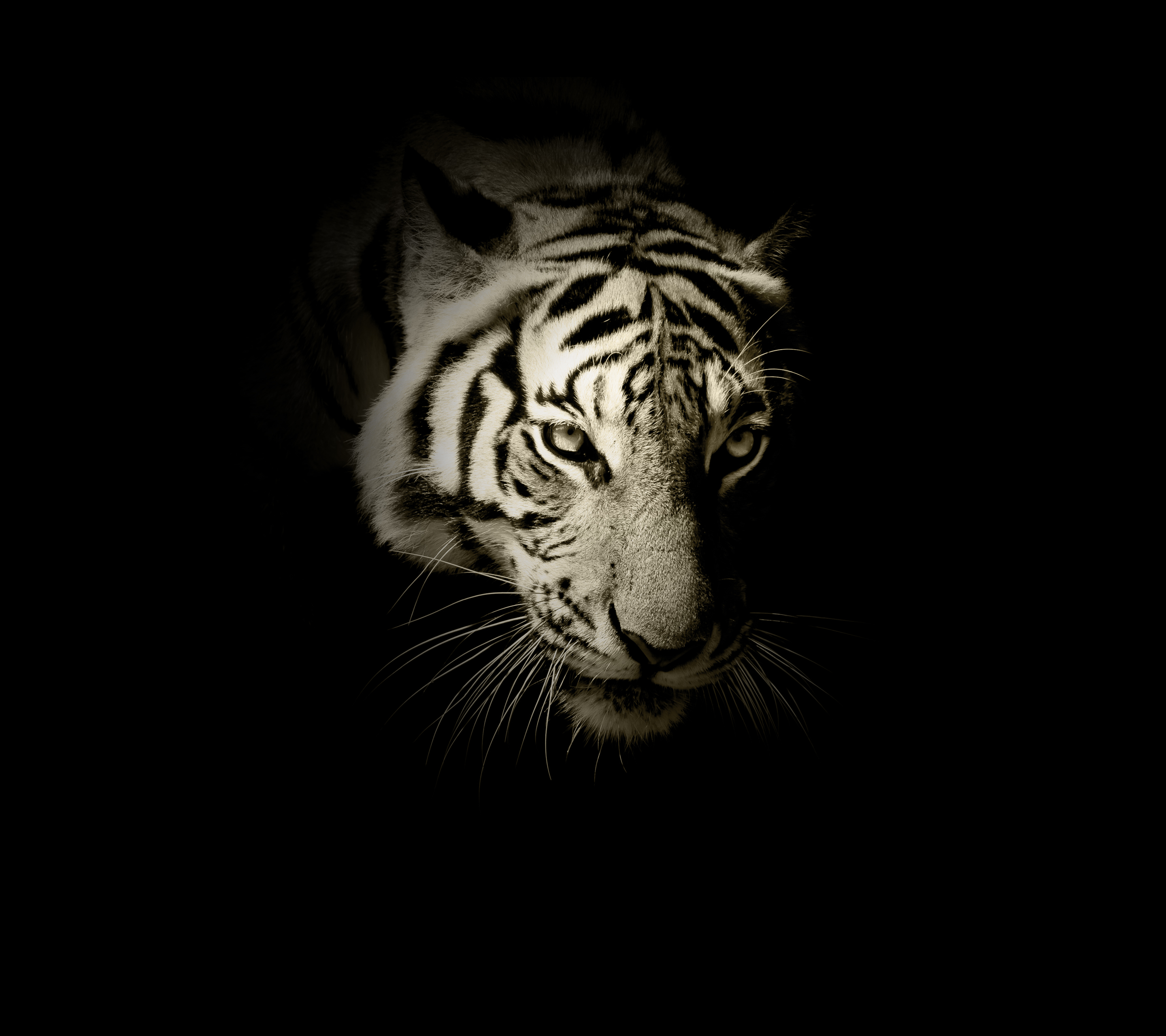 Tiger Wallpaper 172 2880x2560 Pixel Wallpaperpass