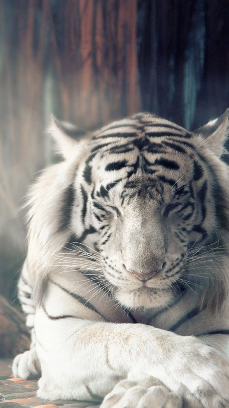 tiger wallpaper 174